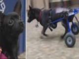 Paralyzed Pup Gets New Wheels
