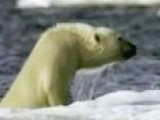 Polar Bears Remain On Endangered Species List