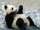 Panda Prank? Vets Say Animal Faked Pregnancy For More Food