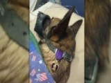 Photo Of Service Dog With Purple Heart Goes Viral