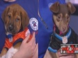 Puppy Bowl Puppies On Chicken Cheerleaders, Tanuki