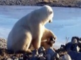 Polar Bear Pets Dog