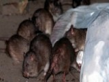 Philadelphia Leads Nation In Rodent Infestation