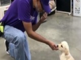 Paws For Purple Hearts Trains Service Dogs For Veterans