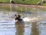 Raw Video: Moose Finds Cool Break From Summer Heat
