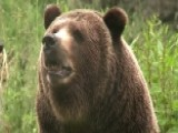 Researchers Use Grizzly Bears To Study Obesity