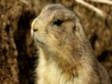 Residents Win Legal Fight Over Prairie Dogs