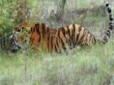 Rare Tiger Released By Putin Kills 15 Goats In China
