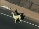 Renegade Llamas Finally Captured In Sun City, Arizona
