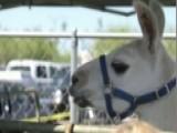 Regulation Nation: Feds Demand New Licenses For Llamas