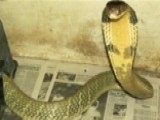 Reality Star's King Cobra On The Loose In Florida
