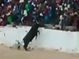 Raging Bull Leaps Into Stands As Scared Spectators Scatter
