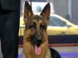 Rumor The German Shepherd Wins Westminster's Best In Show