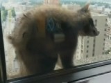 Raw Video: Raccoon Scales Building In St. Paul, MN