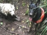 Raw Video: Rescue Dog Saves Dog Trapped In Mud