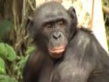 Sex-addicted Bonobo Apes Face Extinction