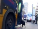 Seattle Dog Rides Bus To Dog Park Alone