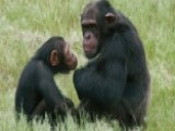 Should Chimpanzees Have The Same Legal Rights As Humans?