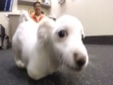 Scooter The Two-legged Dog Learns To Walk