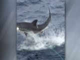 Shark Leaps From Water Shocking Tourists