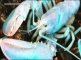 See It: Cotton Candy-colored Lobster Caught