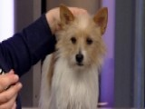 Three New Breeds Set To Compete At Westminster Dog Show