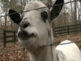 Teens Arrested For Stealing Goat To Ask Girl To Prom