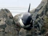 Trapped Killer Whale Saved After Getting Stuck On Rocks