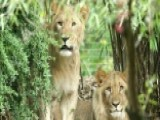 Two Lions Escape From Their Cages In Germany Zoo