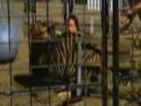 Tiger Viciously Attacks, Drags Trainer In Front Of Kids