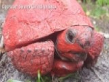 Tortoise Found In Florida Covered In Red Paint And Concrete