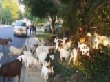 The Backstory Of How Goats Stormed An Idaho Neighborhood