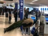 Unbelievable: Emotional Support Peacock Denied On United Flight