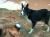 Video: Border Collie Herding Tigers