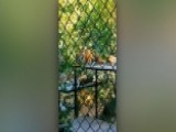 Visitor Scales Fence Near Tiger In Oakland Zoo