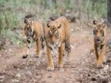 Villagers Use Calvin Klein Cologne, Tractor To Kill Man-eating Tigers