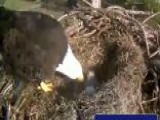 Webcam Captures Eagle Family Live