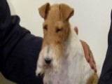 Wire Fox Terrier Sky Is 'best In Show'