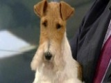 Wire Fox Terrier Sky Wins At Westminster