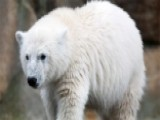 What Humans Can Learn From The Polar Bear Knut's Death