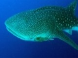 Whale Sharks Could Hold Clues About Fighting Diseases