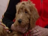 Will Patton The Goldendoodle Become The First Dog?