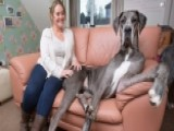 World's Biggest Dog Stands At Over 7 Feet Tall