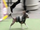 Westminster Dogs Show Off Their Skills On 'Fox & Friends'