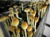 Will Oregon Be First State To Legalize Mushrooms?