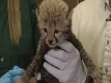 Zoo Welcomes Over A Dozen New Cheetah Cubs