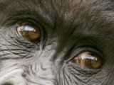 Gorilles De Montagne Au Rwanda
