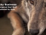 North Carolina Nights: Endangered Red Wolves Threatened By Proposed Coyote Night-hunting Rule