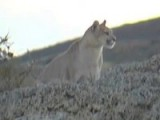 Naturetrek Production: Chile - Just Pumas!