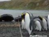 Penguins Keep Tripping Over Rope